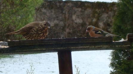 Chaffinch and Song Thrush having breakfast