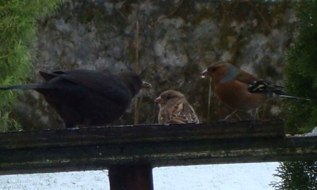 Blackbird and chaffinches having a break