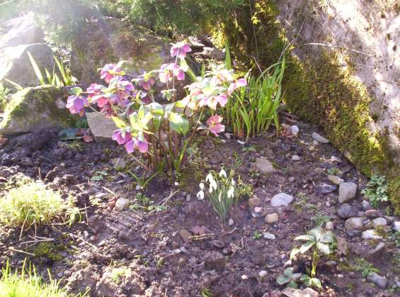 Hellebores and snowdrops
