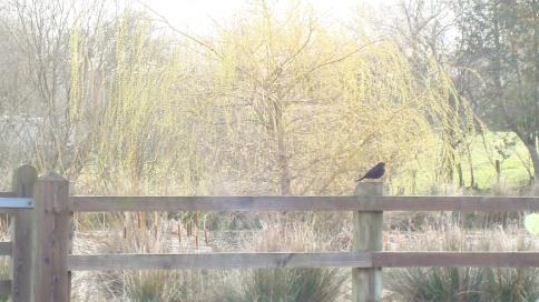 Blackbird looking over Pond Field