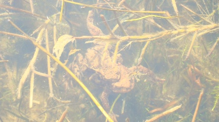 Mr and Mrs Frog in the pond today!