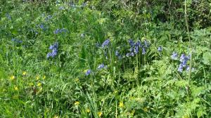 The bluebells in the hedgerow