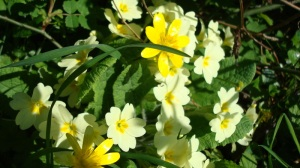Primroses and celandines in the hedge