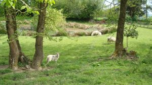 Lambs in the Pond Field