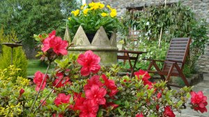 Azalea  and pansies in Lletty Cottage garden