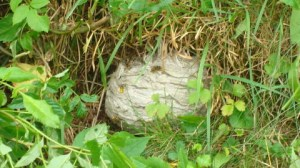 The wasps very unhappy about their nest being disturbed