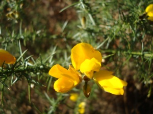 Gorse open on all the bushes