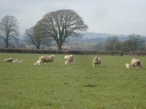 Lambs in the field...hope the keep warm over the weekend when  snow is around!