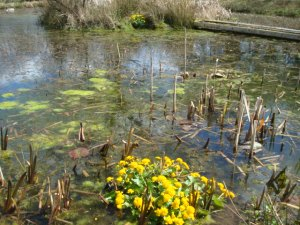 Water Marigolds on the edge of the pond