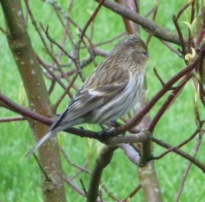 Is this a Dunnock?