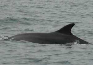 2014 july chris flint dolphin2